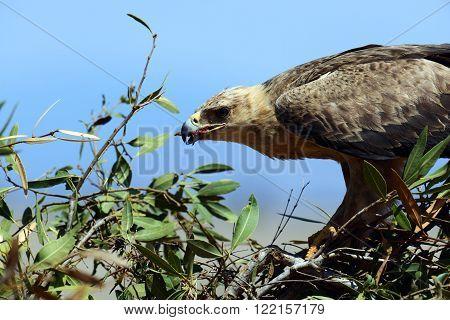 African Eagle In The Savannah