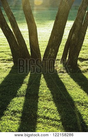Early Summer Morning Dawn, Sunrise Shaded Backlit Park Trees, Bright Parkland Lawn, Large Vertical Trunks Closeup