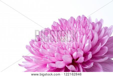 Close up pink chrysanthemum on a white background