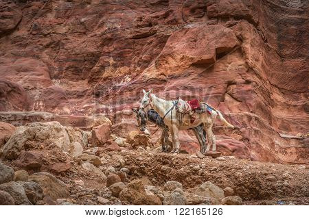 Two bedouin donkeys resting surrounded by the rose red landscape Petra Jordan. Petra is one the New Seven Wonders of the World
