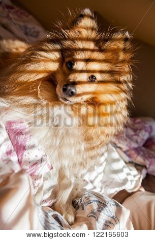 a shetland sheepdog full of stripes on bed