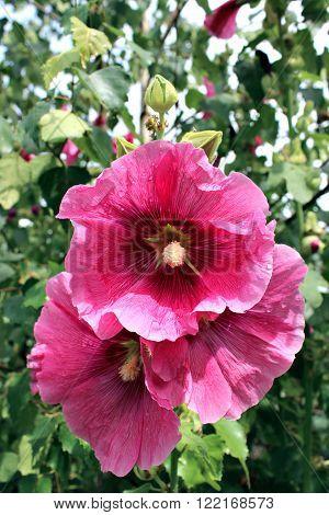 Flower beautiful pink hollyhocks in the garden