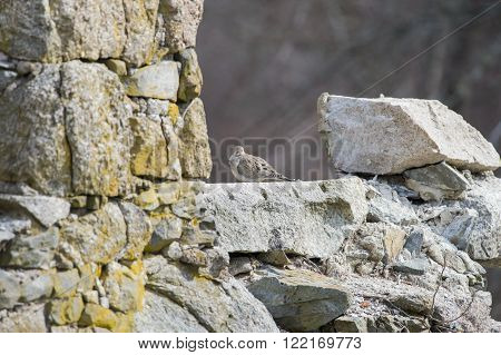 Mourning Dove perches on remains of the window frame of an old stone mill