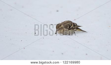 Small Pine Siskin (Carduelis pinus) finds and eats a sunflower seed showing its streaky patterns and touches of yellow as it searches for seeds in spring corn snow.