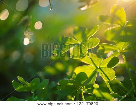 Beautiful macro shot of clover plant growing in garden. Shallow DOF.