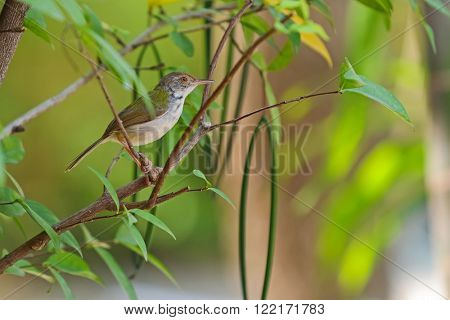 Cute Common tailorbird bird with greenish upper body plumage perching on a branch in the garden