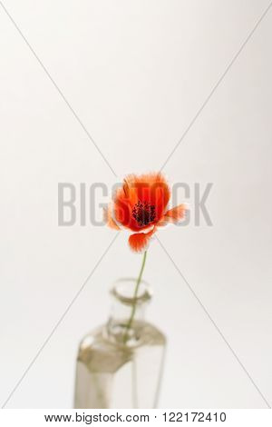 Nice poppies in the vase