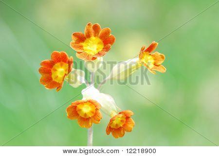 Macro image of cowslip flower in meadow