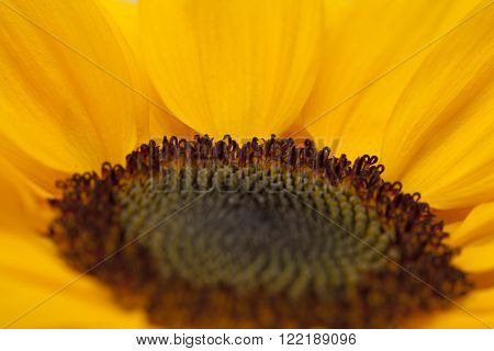 Sunflower Center Macro Backgound