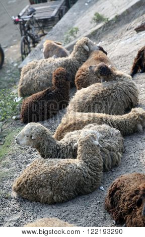 CANNING TOWN, INDIA - JANUARY 17: A flock of sheep resting near Canning Town, West Bengal, India on January 17, 2009