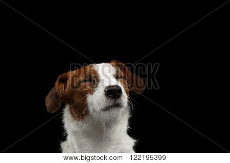 Closeup Portrait of dreaming Jack Russell Terrier Dog with closed eyes isolated on Black background