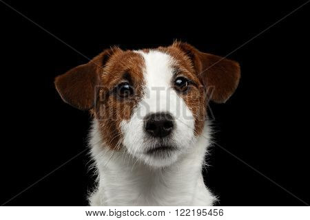 Closeup Portrait of Jack Russell Terrier Dog isolated on Black background