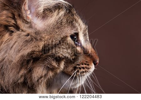 Gorgeous Maine Coon Cat In Profile On Brown Background