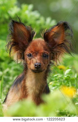 decorative dog Russian Toy Terrier in summer closeup portrait