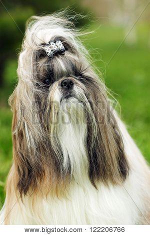dog breed Shih Tzu - portrait in the wind