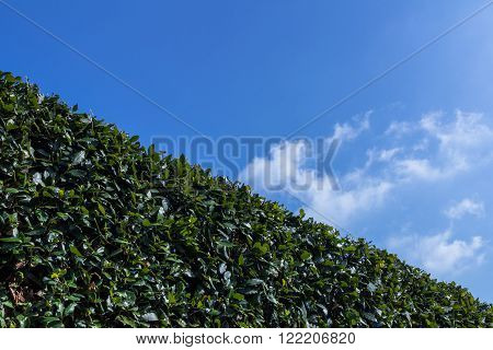 Big hedge against a blue sky suitable as background or setting.