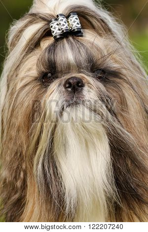 dog breed Shi tzu - portrait with bow