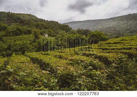 Tea plantations of Solokh-aul (Greater Sochi). The Krasnodar tea - the most northern tea in the world