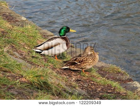mallard duck male and female on the bank of a river