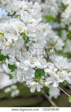 Pure white and rose colors apple tree flowers spring natural outdoor background