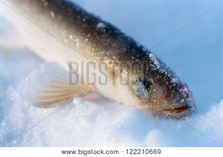 Smelt Fish Lying In The Snow, Close-up Head.