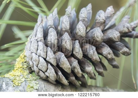 Dry and open pinecones in the tree, forest