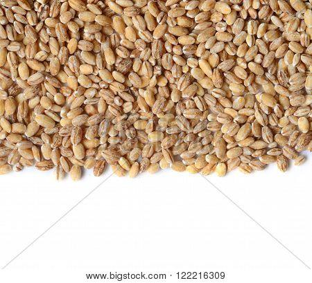 Barley Grain Seeds