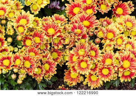 Beautiful flowers of chrysanthemums, Chrysanthemums flowers background