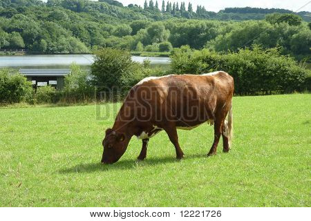 Brown and white dairy cow grazes in farmers field