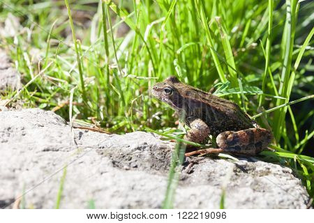 the frog sitting on a stone among a grass in clear summer day