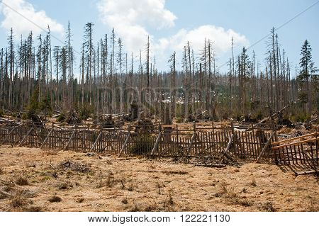 Very old and broken trees on spring Sumava