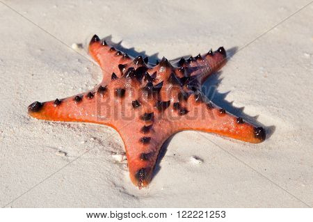 starfish with spikes lying on the wet sand,close-up
