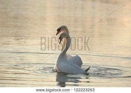 Swans on the lake at dawn. Poland.