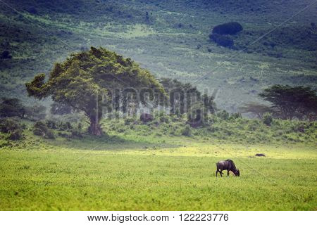 Blue wildebeest (Gnu or Connochaetes taurinus) in the Serengeti national park, acacia trees on background. Big animal in the nature habitat, Tanzania, Africa