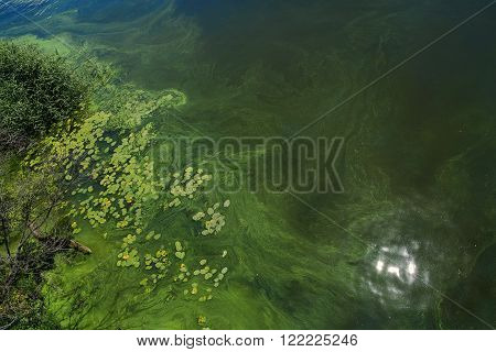 sun reflection in the pond with duckweed