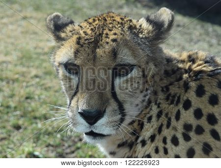 Photograph of a cheetah face close up