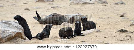 Babies Of A Cape Fur Seals