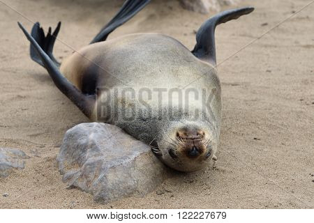 Cape Fur Seal, Namibia