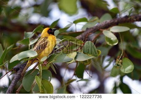 Yellow Masked Weaver Bird