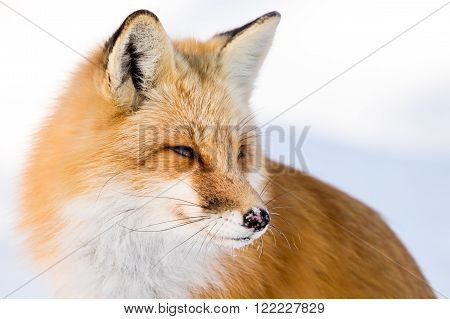 Red Fox - Vulpes vulpes standing in a snowy meadow looking back to the right. Ice on its mouth an nose