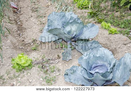 Cabbage, Brassica Oleracea Is Growing An Organic Vegetable Garden.