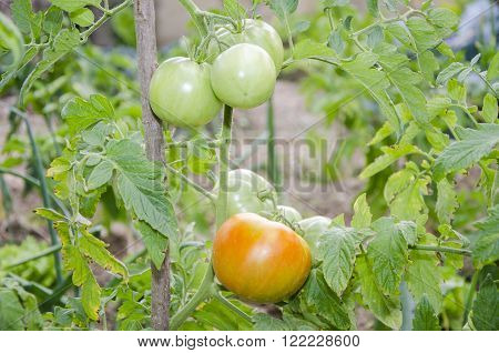 Organic tomatoes growing on their plant in a vegetable patch.