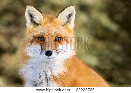Red Fox - Vulpes vulpes sitting up at attention direct eye contact a little snow in its face tree bokeh in background