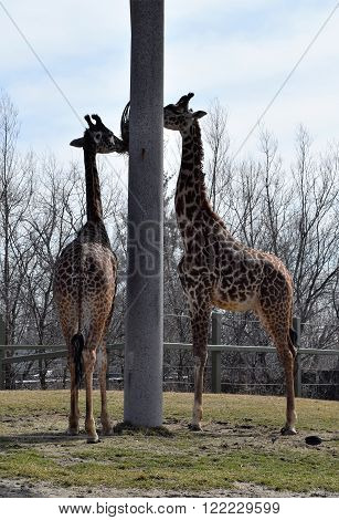 Photograph of giraffes eating from a container.