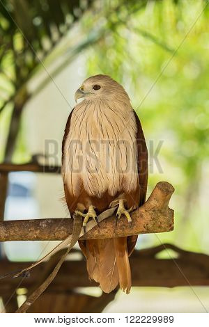Brahminy Kite. Red-backed Sea Eagle standing on wood branch.