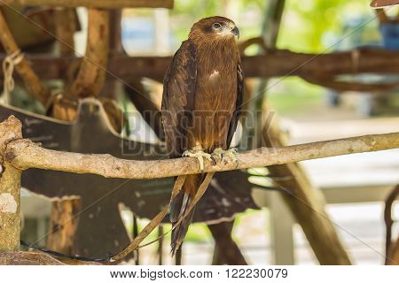 Black Hawk bird standing on wooden branch.
