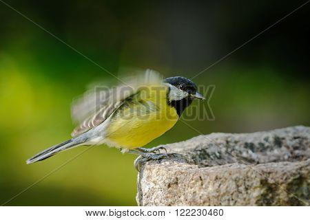 Adult great tit flew on a bird feeder
