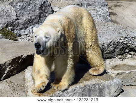 Photograph of an adult polar bear walking.