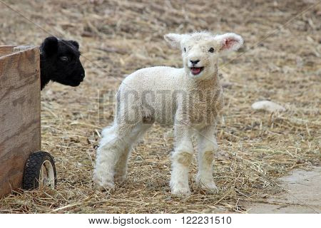 Two newborn lambs on a farm, one black and one white.