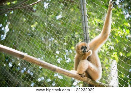 brown gibbon in the zoo, fight for gibbon.